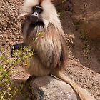 Gelada Baboon by Karen Millard