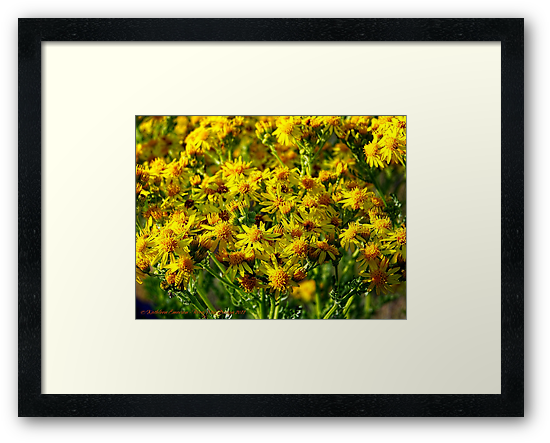 Wild Sunshine (Common Ragwort, Senecioneae Jacobaea) by rocamiadesign