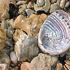 Abalone Seashell Two by Robert Phillips