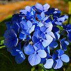Blue Hydrangea  by Courtneystarr