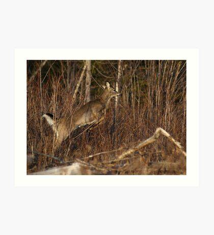 Maine Whitetail Art Print