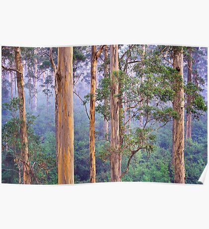 Misty Morning in the Karri Forest Poster