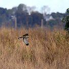 Northern Harrier Hawk On the Hunt by DARRIN ALDRIDGE