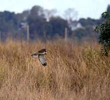 Northern Harrier Hawk On the Hunt by DARRIN ALDRIDGE