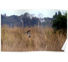 Northern Harrier Hawk On the Hunt Poster