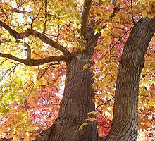 Maple Tree on Fall by anishell