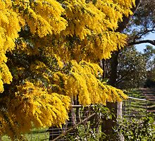 Wattle by the Gate by pennyswork