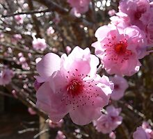 Peach blossom by PhotosByG