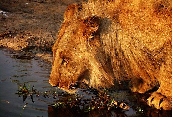 Lion's Pride by Andrew Paranavitana