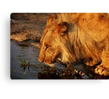 Lion's Pride Canvas Print
