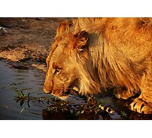 Lion's Pride Photographic Print