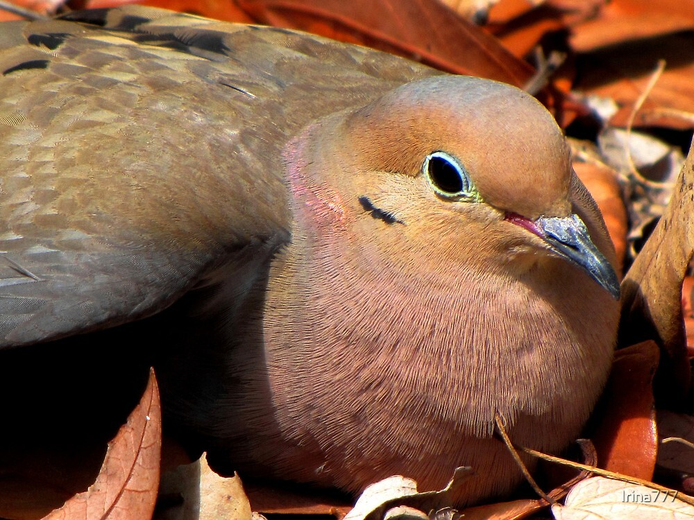 Mourning Dove by Irina777