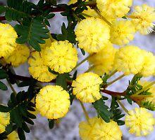 Acacia - Kalamunda, Western Australia by Akrotiri