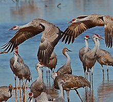 Sandhill Cranes at Whitewater Draw by Marvin Collins