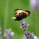 Butterfly by sionii