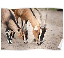 Two brown domesticated goats Poster