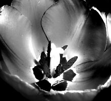 BW Tulip #11 by Amy Bettison