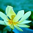 Water lily at Brazos Bend State Park by Ann Reece