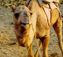 So Smug - Camel, Rajasthan, India by monkeybusiness