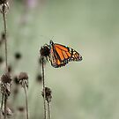 A Monarch and his Cones by KatMagic Photography