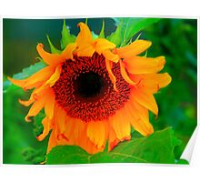 Black Hole in a Sunflower, Late Evening along the Teesdale Way Poster