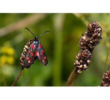 six-spot burnet moth Photographic Print