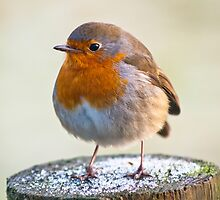 Animal, Bird, European Robin, Erithacus rubecula by Hugh McKean