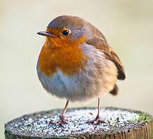 Animal, Bird, European Robin, Erithacus rubecula by Hugh McKean