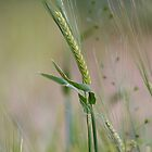 Barley Stalk by stay-focussed
