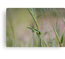 Barley Stalk Canvas Print