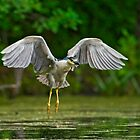 Night Heron flight by Daniel  Parent