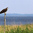 Osprey - Blackwater National Wildlife Refuge, MD by Matthew Kocin