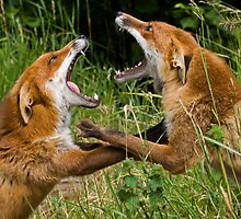 Fighting Foxes by Sean Cameron