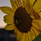 sunflower by milanhyde
