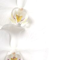 Orchid by Jonathan Fox