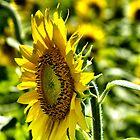 Opened to the sun  by LudaNayvelt