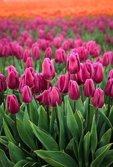 Tulip Cornucopia by Inge Johnsson