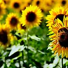 Sunflower field III by LudaNayvelt