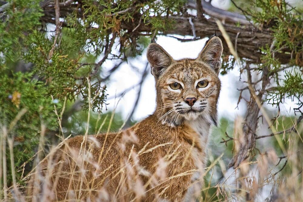Diamond Mountain Bobcat by Kim Barton