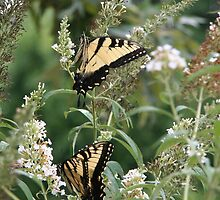 Two by Two - Eastern Tiger Swallowtails by WalnutHill