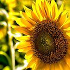 Sunny Flower  by LudaNayvelt