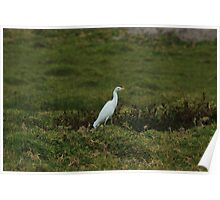 White Cattle Egret in a Field Poster