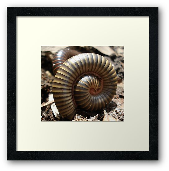 MILLIPEDES by May Lattanzio