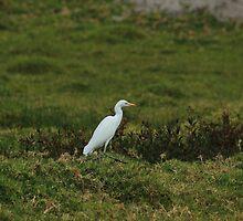 Cattle Egret Walking in a Field by rhamm