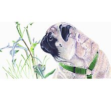 Pug & Nature - Colored Pencil Photographic Print