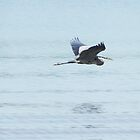 Great Heron in Flight by bannercgtl10