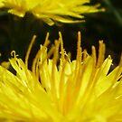 Dandelion by bruxeldesign