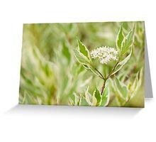 Cornus alba flowering twig Greeting Card