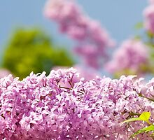 Lilac vibrant pink flowers by Arletta Cwalina