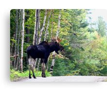 Maine bull Moose by the birches Canvas Print
